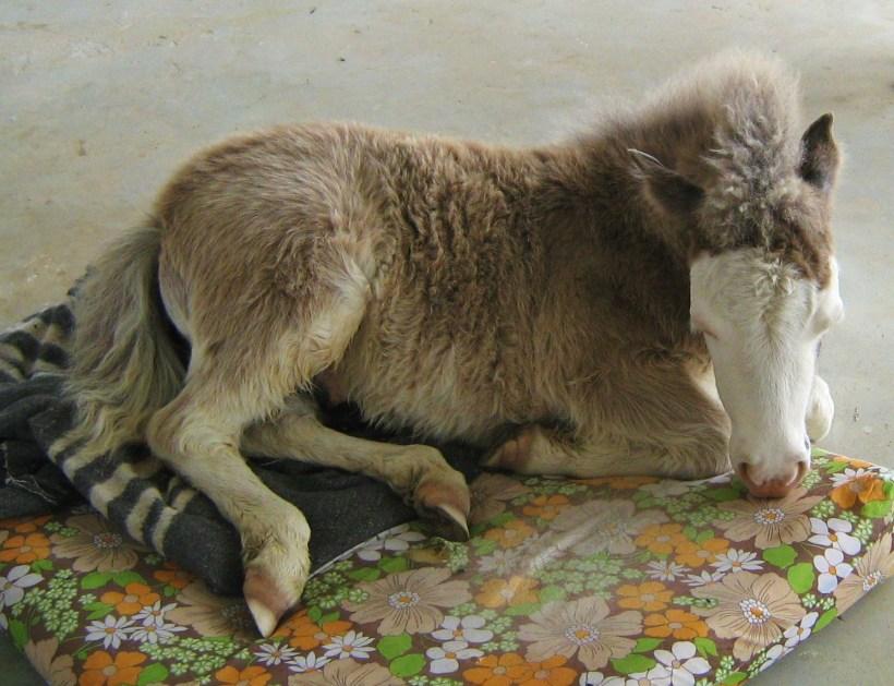 Oct 2010, Snow sleeps on dog mattress (1)