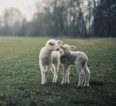 2 lambs