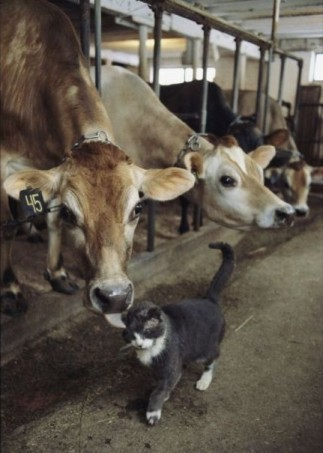 cows and cat