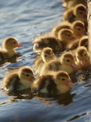 ducklings on water