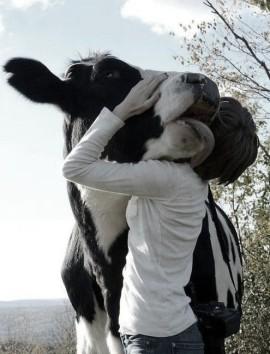 hugging cow