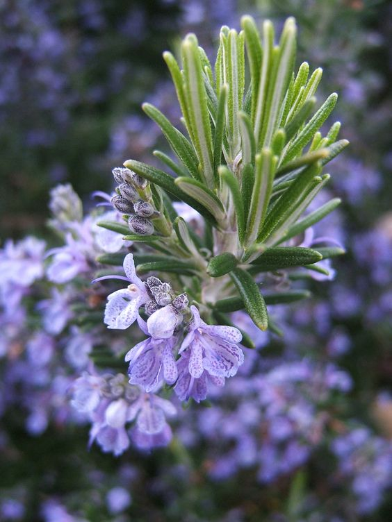 tuft of rosemary