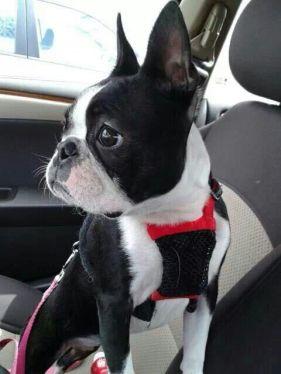 boston-terrier-in-car