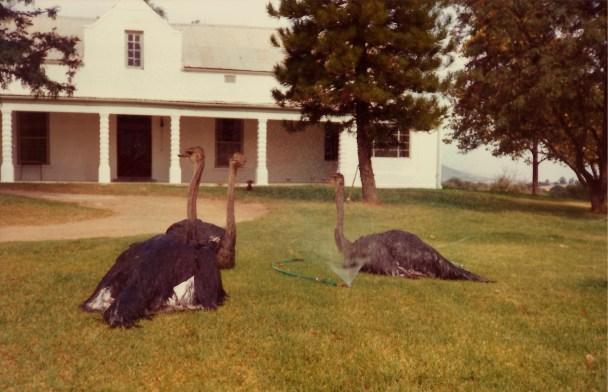 ostriches-on-the-lawn